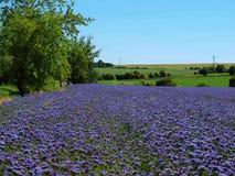 Campo púrpura del Tansy en campo en día de verano caliente Flores púrpuras azulverdes en flor Fotografía de archivo libre de regalías