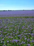 Campo púrpura del Tansy en campo en día de verano caliente Flores púrpuras azulverdes en flor Foto de archivo libre de regalías