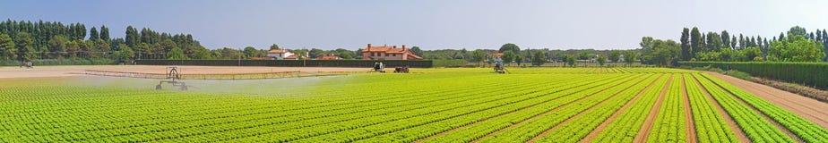 Campo panorâmico da salada Fotografia de Stock