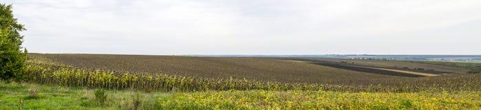 Campo panoramico dei girasoli e della terra arata Fotografia Stock Libera da Diritti