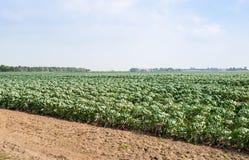 Campo parcialmente cosechado con las coles de Bruselas Foto de archivo libre de regalías