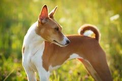 Campo pelirrojo del perro de caza de la hierba verde imagen de archivo libre de regalías