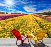 Campo per coltivazione del ranunculus del giardino Fotografie Stock Libere da Diritti