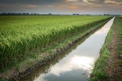 Campo perfeito do arroz Imagens de Stock Royalty Free