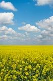 Campo piano giallo del raccolto della violenza Fotografia Stock