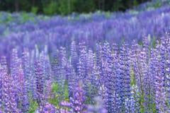 Campo in pieno dei fiori del lupino Fotografia Stock
