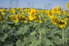 Campo in pieno dei fiori in fioritura, angiosperme gialle luminose, gruppo di helianthus annuus di girasoli fotografia stock libera da diritti