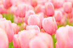 Campo in pieno dei tulipani di fioritura Fotografia Stock