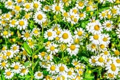 Campo in pieno delle pedane fiorite illustrazione di stock