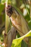 Campo plantado con el maíz en la mazorca Foto de archivo