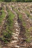 Campo plantado con el maíz en la mazorca Fotografía de archivo libre de regalías
