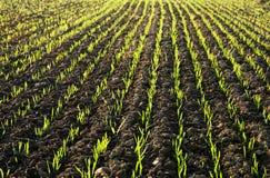 Campo plantado en Sunlit Fotos de archivo