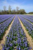 Campo por completo de jacintos. Fotos de archivo