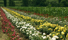 Campo por completo de rosas coloridas Imagen de archivo libre de regalías