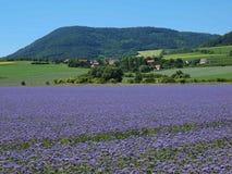 Campo porpora del tanaceto in campagna nel giorno di estate caldo Fiori porpora verde blu in fiore Immagini Stock