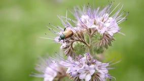 Campo porpora del tanaceto con il bombo Dettaglio dei fiori rosa verde blu in fiore che scuote con le api stock footage