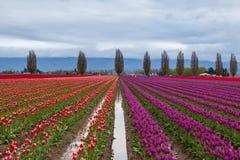 Campo porpora e rosso variopinto del tulipano in primavera Fotografia Stock Libera da Diritti