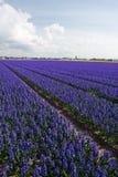 Campo porpora scuro dei giacinti nei Paesi Bassi Immagine Stock