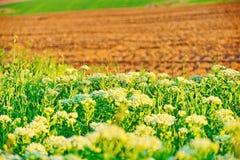 Campo próximo arado branco das flores Fotos de Stock Royalty Free