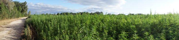 Campo próximo da estrada com marijuana Imagens de Stock Royalty Free