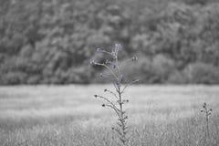 Campo preto e branco com cardos roxos Imagem de Stock Royalty Free