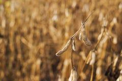 Campo pronto del fagiolo della soia del raccolto Immagine Stock Libera da Diritti