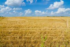 campo pronto dell'azienda agricola del raccolto con cielo blu Fotografia Stock