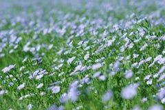Campo que florece, cultivo agrícola del lino del lino Imágenes de archivo libres de regalías