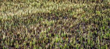 Campo quemado con algunos restos de la hierba verde Imagen de archivo