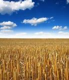 Campo raccolto con grano Fotografia Stock
