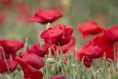 Campo rojo brillante de la amapola fotografía de archivo
