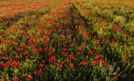 Campo rojo de la amapola Foto de archivo libre de regalías