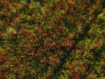 Campo rojo de la amapola Imagen de archivo libre de regalías