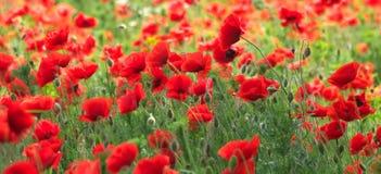 Campo rojo de la amapola imagen de archivo