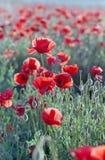 Campo rojo de la amapola Fotografía de archivo