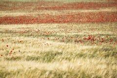 Campo rojo de la amapola Fotografía de archivo libre de regalías