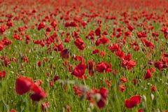 Campo rojo de la amapola Fotos de archivo