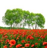 Campo rojo de la amapola con los árboles Fotos de archivo