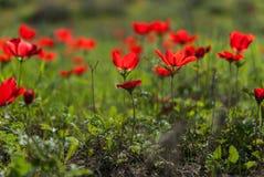 Campo rojo de la anémona imagen de archivo