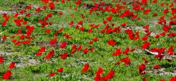 Campo rojo de la anémona foto de archivo