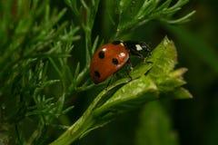 Campo rojo de la macro del jardín del verde del insecto de la hierba de la mariquita Imagen de archivo