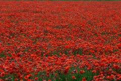 Campo rojo de las amapolas foto de archivo libre de regalías