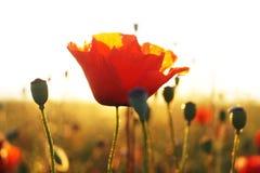 Campo rojo de las amapolas Imagen de archivo libre de regalías