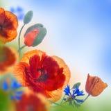 Campo rojo de las amapolas y acianos azules Foto de archivo libre de regalías