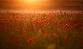 Campo rojo de los rheas del Papaver de la amapola Imagen de archivo