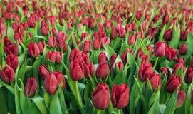 Campo rojo de los tulipanes Fotografía de archivo