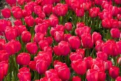 Campo rojo de los tulipanes Foto de archivo libre de regalías