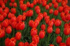 Campo rojo del tulipán Imagen de archivo libre de regalías
