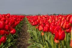 Campo rojo del tulipán Fotografía de archivo libre de regalías