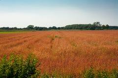 Campo rojo del wheet Imagenes de archivo